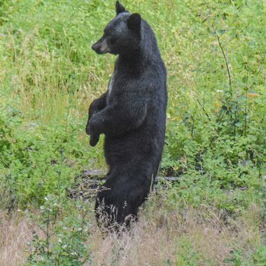 A black bear standing up for a better look