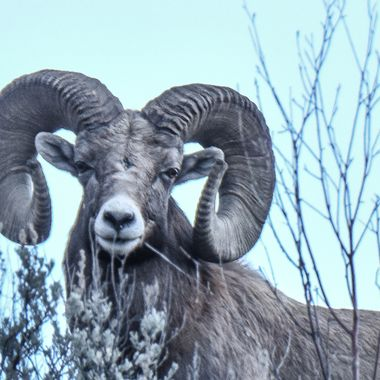 This ram would be classed as a world record ram and in the top ten..He was photographed near Spences Bridge B C