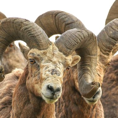 Two mature Bighorn Rams near Kamloops B C