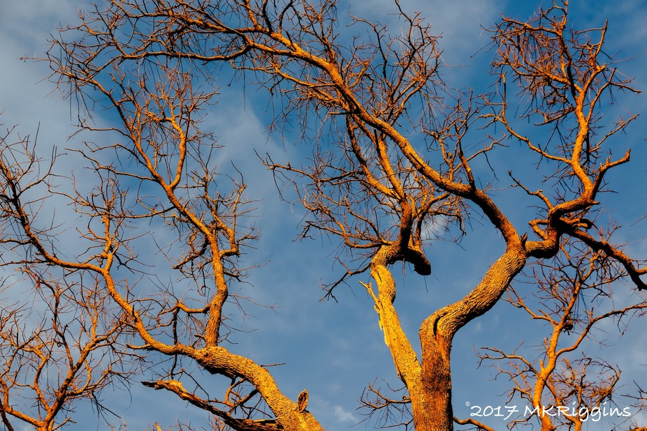 Branches on a leafless tree turn gold in the early morning sunrise