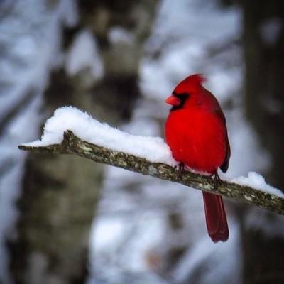 This male Cardinal didn't seem to mind the snow.  #trailsend #cardinal #snowstorm #birding #birdsofinstagram #wander #woods #outthebackdoor #backyardnature #canon_photos #canonwhatelse #pocket_birds #ig_birds #bd_birds #bestbirdshots #got_greatshots #marv