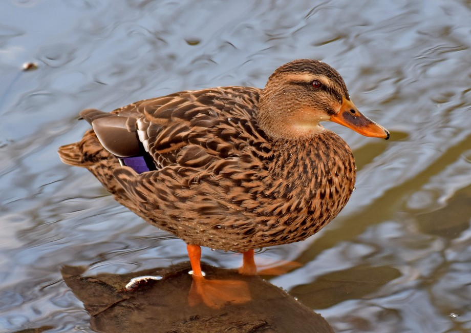 Female Mallard Duck, Taken at Queen Elizabeth country park near Ashington Northumberland.