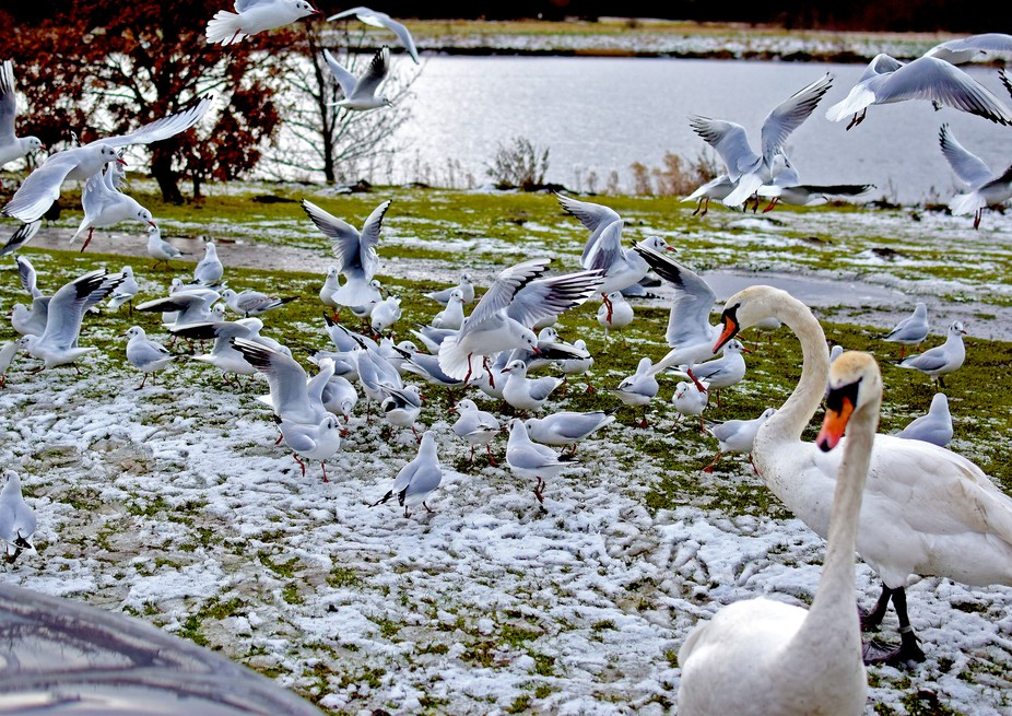 Gulls and Swans after bread, QE2 country park.