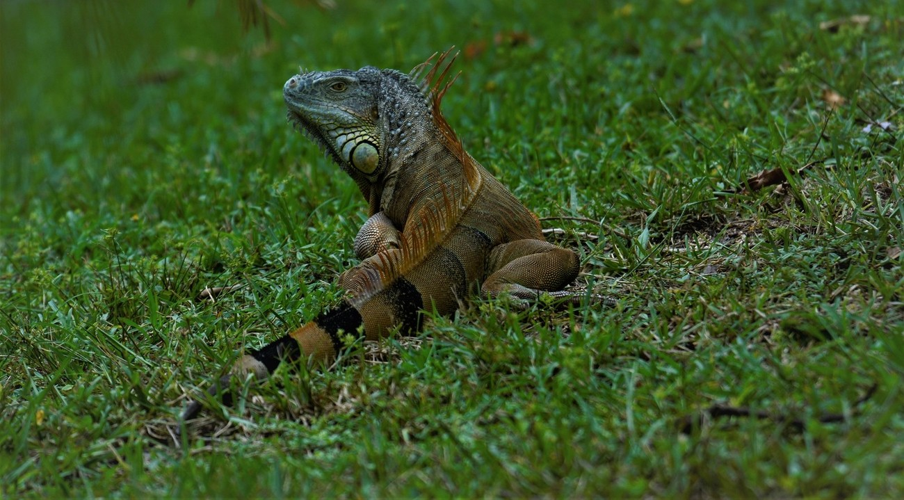 I know I post a lot of Iguanas here, at times I believe as many as there are in Florida, so you will always see me releasing a new photo of a Iguana. My attraction to their look is about how primitive they look and what relation they may have to dinosaurs.  Could they ever develop again into dinosaurs?