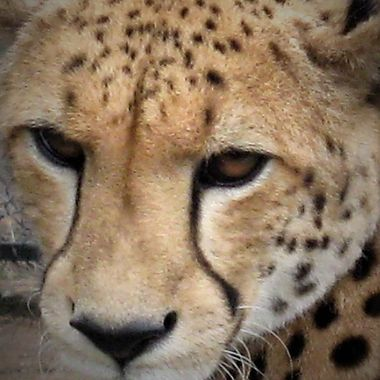 Cheetah face