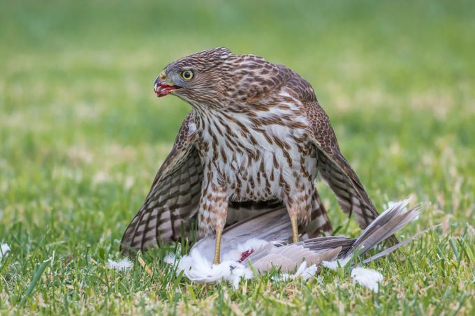 Hawk Breakfast by davidwkwok - Subjects On The Ground Photo Contest