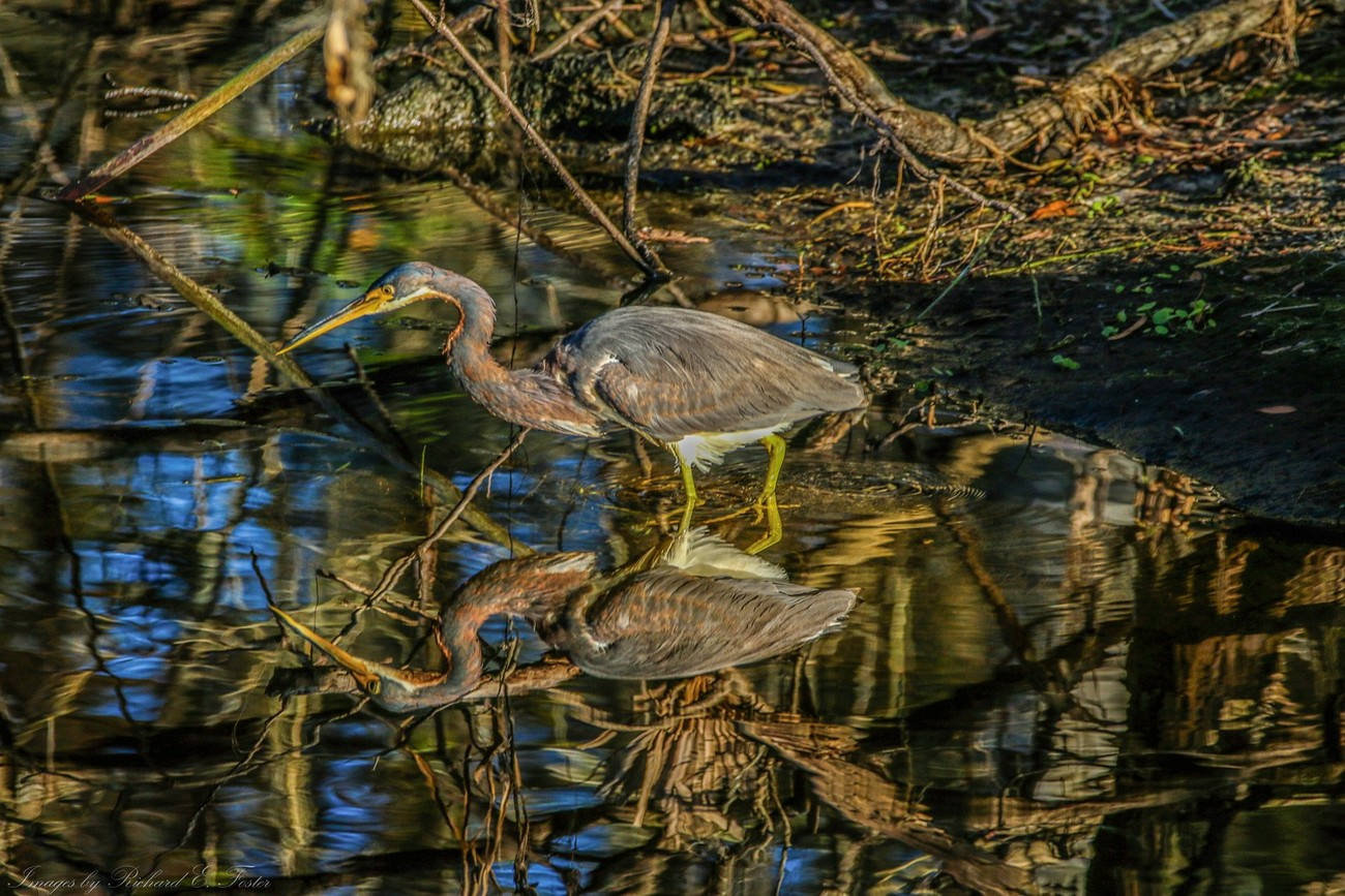 Great Blue Heron at the Alafia River Park, Florida