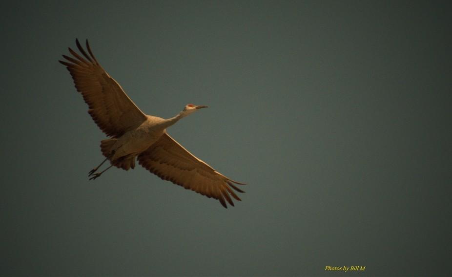Sandhill Crane cruising