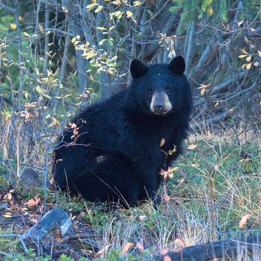This black bear is not allowing my presence to disturb him.
