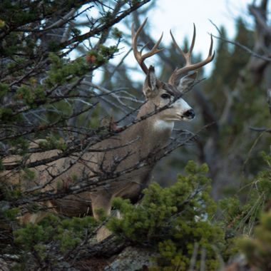 This Mulie Buck lives at Crows Nest Pass