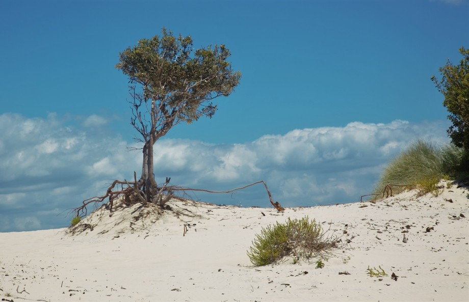 South Stradbroke Sand Tree