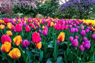 Purple and Yellow Tulips