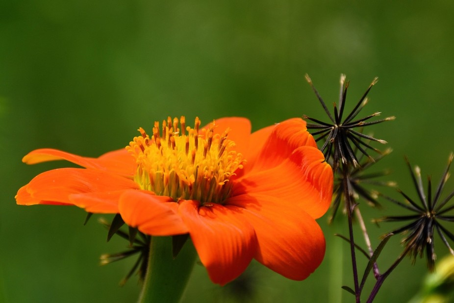 A roadside photo taken of a prickly blackjack and a beautiful orange blossom nicknamed the Mexica...