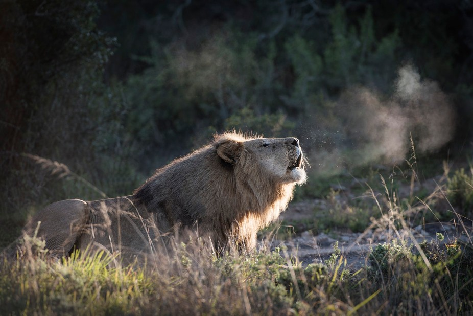 Freezing cold morning in theEastern Cape South Africa, dawn frost caught breath of lion'...