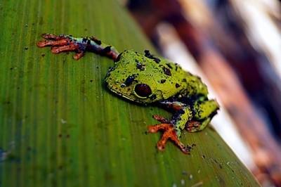 Agalychnis callidryas, known as the red-eyed tree frog