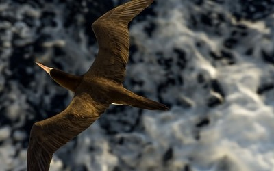 Brown Booby on the Hunt