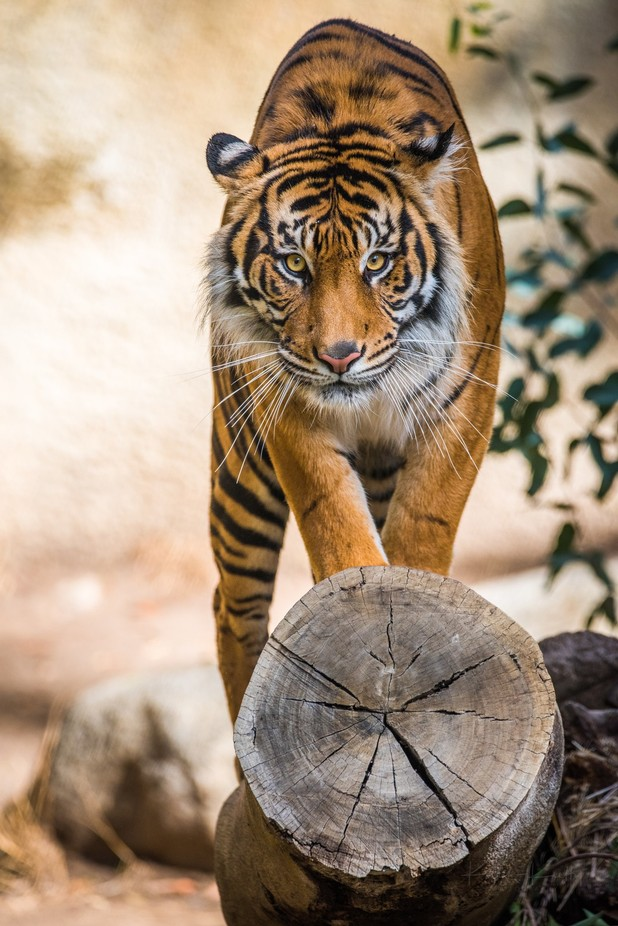 Tiger On a Log by YNot2K - Big Mammals Photo Contest
