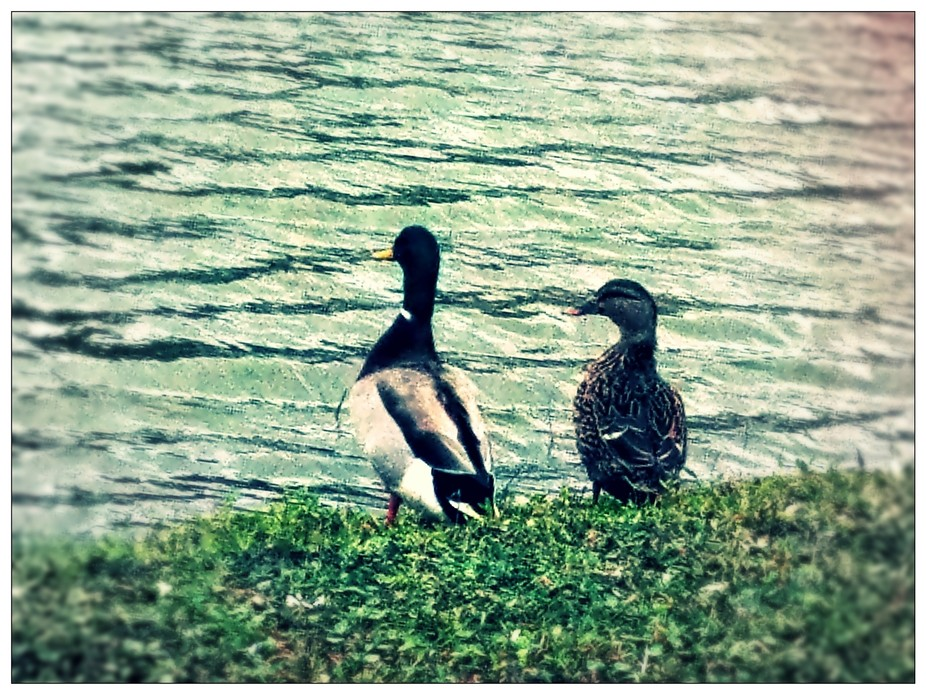 Just a couple of ducks, husband and wife a a lake near or house.