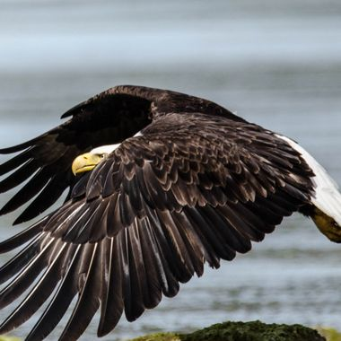 A Bald Eagle looks like he has a destination in mind .