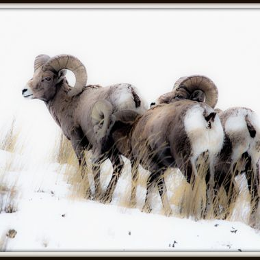 Bighorn Sheep on their winter feeding grounds.