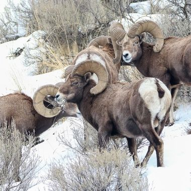 These Bighorn sheep are feeding around the hillside near Kamloops B C