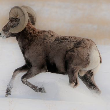 A Bighorn Ram moving away from me as I close in for a closer shot.
