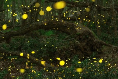 Fireflies at the fairy forest