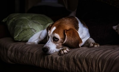 The life of a Beagle