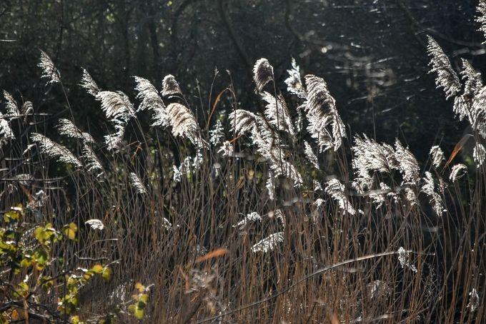 Low winter sun backlit the reeds. Taken in Crane Park West London.