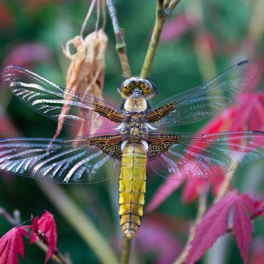 Deragonfly