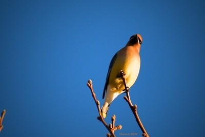 Cedar waxwing aginst the blue sky