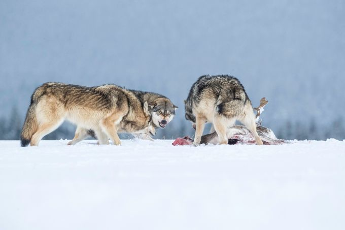 Wolf pack and prey by vladcech - Celebrating Nature Photo Contest Vol 4
