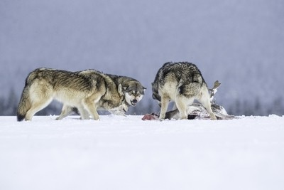 Wolf pack and prey