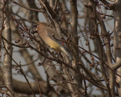 Waxwing snacking