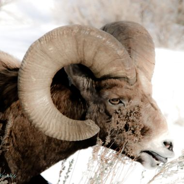 This healthy looking ram is six and a half years old.. being born in May they are all in between full years of growth.