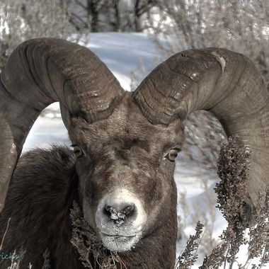 This Bighorn Ram is eight years old, give or take a year