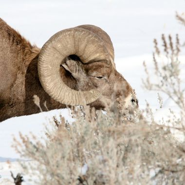 This California Bighorn Sheep lives in the mountains around Kamloops B C