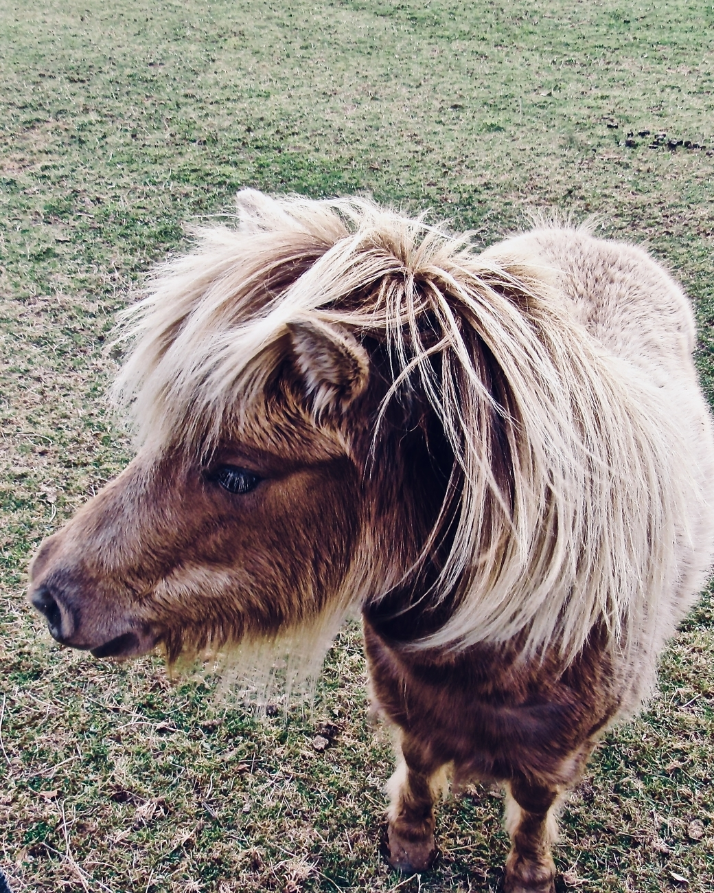 This miniature horse lives in a small paddock close to our place at Raetihi