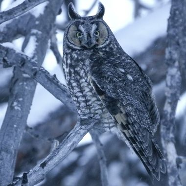 This Long Eared Owl was sitting in a pine tree in a snowstorm.