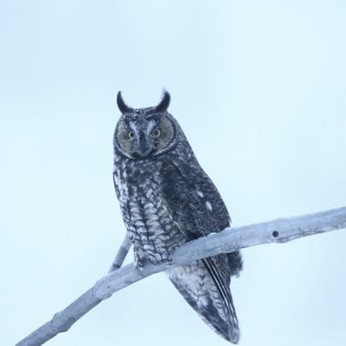 A Long eared owl watching the field for a mouse.