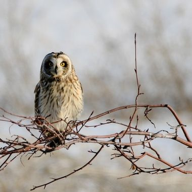 A Short Eared owl looking for something to eat near Stump Lake B C