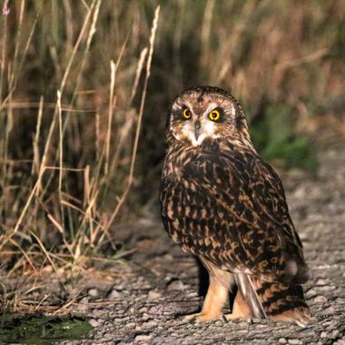 A short eared owl sitting on the road at night and watching for mice to cross the road.