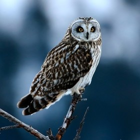 A short eared owl sitting and waiting for movement as he hunts for supper near Stump Lake B C