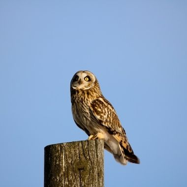 A Short Eared Owl sits on a fence post near Stump Lake B C