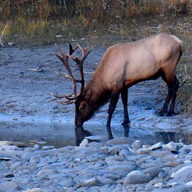 A bull elk has a drink near Jasper Alberta
