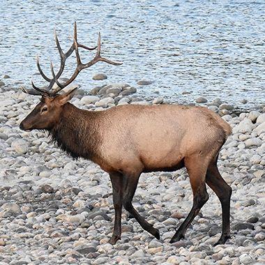 A bull elk wandering along the river near Jasper Alberta