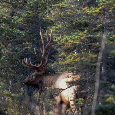 A bull elk near Jasper Alberta. He wasn't happy with my closeness.