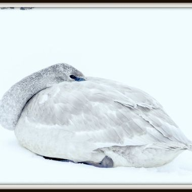 A Trumpeter Swan sitting on the ice near Kamloops B C