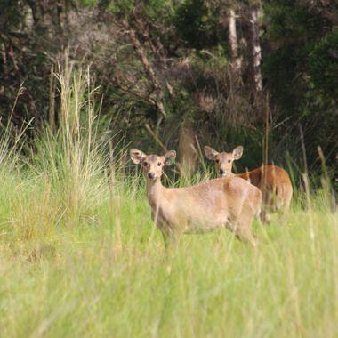 Hog deer hinds