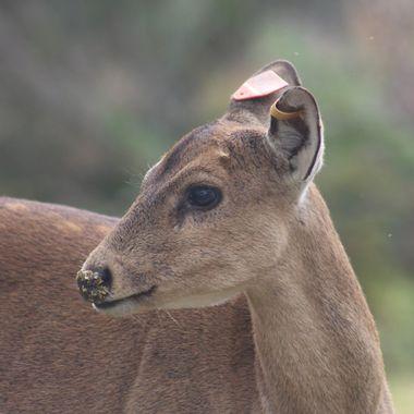 Hog deer hind